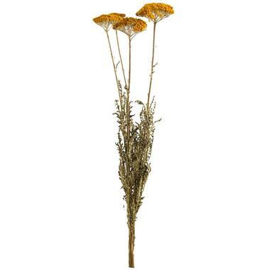 Droogbloemen Achillea 3-stuks - 70 cm - Leen Bakker